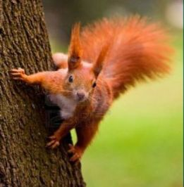 Red Squirrel pic